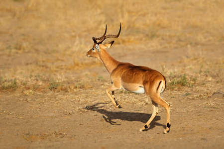 Male impala antelope (Aepyceros melampus) running, Kruger National Park, South Africa