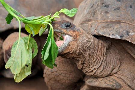 Portrait of Aldabra giant tortoise (Aldabrachelys gigantea) eating, Zanzibar