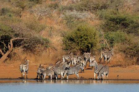 Herd of plains zebras (Equus burchelli) drinking water, Kruger National Park, South Africa Stock Photo - 152246436