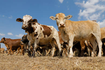 Small herd of free-range cattle on a rural farm, South Africa Stock Photo - 152185694
