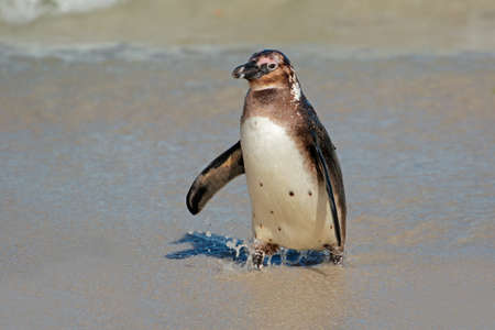 A young African penguin (Spheniscus demersus) on the beach, Western Cape, South Africa Stock Photo - 152185721