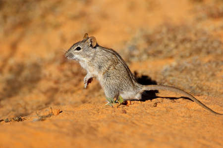 A small striped mouse (Rhabdomys pumilio) in natural habitat, South Africa Stock Photo
