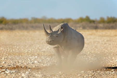 A black rhinoceros (Diceros bicornis) in the arid landscape of Etosha National Park, Namibia Stock Photo - 152816950