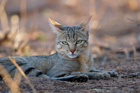 Portrait of an African wild cat (Felis silvestris lybica), Kalahari desert, South Africa Stock Photo - 152816953