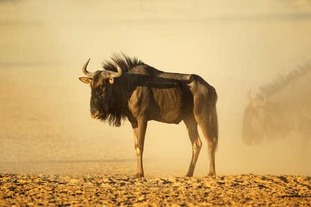 A blue wildebeest (Connochaetes taurinus) in dust at sunset, Kalahari desert, South Africa Stock Photo - 152816954