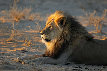 Big male African lion (Panthera leo) in early morning light, Kalahari desert, South Africa Stock Photo - 152816955