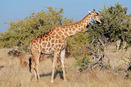 A giraffe (Giraffa camelopardalis) feeding on a tree, Etosha National Park, Namibia