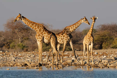 Giraffes (Giraffa camelopardalis) at a waterhole, Etosha National Park, Namibia Stock Photo - 152816957