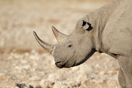 Portrait of a black rhinoceros (Diceros bicornis), Etosha National Park, Namibia