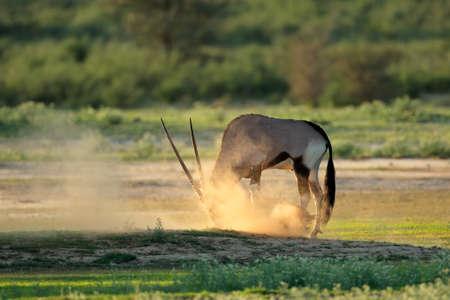A gemsbok antelope (Oryx gazella) in dust at sunrise, Kalahari desert, South Africa