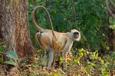 A gray langur monkey (Semnopithecus entellus) in natural habitat, Kanha National Park, India Stock Photo