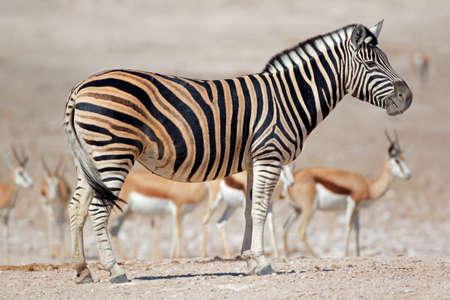 A plains zebra (Equus burchelli) and springbok antelopes, Etosha National Park, Namibia Stock Photo