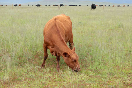 A free-range cow grazing in grassland on a rural farm, South Africa