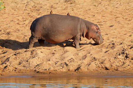 A hippo (Hippopotamus amphibius) walking on land, South Africa Stock Photo - 153226391