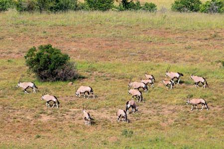Gemsbok antelopes (Oryx gazella) in natural habitat, South Africa Stock Photo - 153226423
