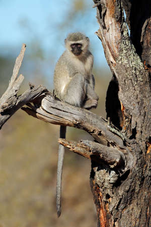 A vervet monkey (Cercopithecus aethiops) sitting in a tree, South Africa Stock Photo