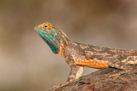 Male ground agama (Agama aculeata) in bright breeding colors, Kalahari desert, South Africa Stock Photo - 153020750