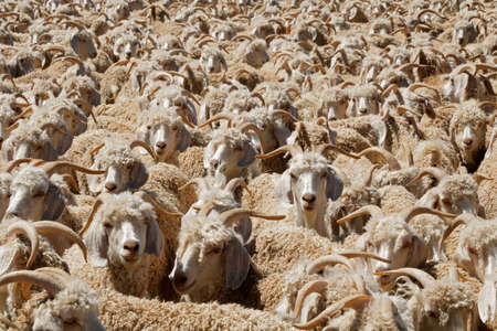 Angora goats crammed in a paddock on a rural South African farm Stock Photo
