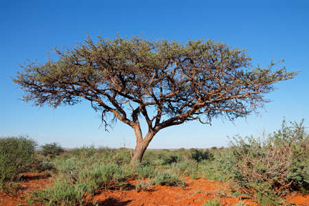 African camel-thorn tree (Vachellia erioloba) against a blue sky, South Africa Stock Photo - 153020733