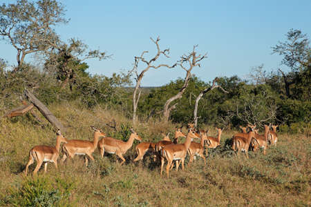 A herd of impala antelopes (Aepyceros melampus), South Africa Stock Photo