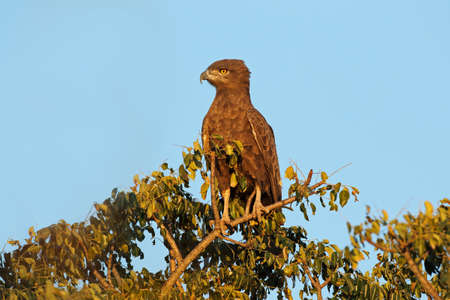 A brown snake eagle (Circaetus cinereus) perched on a tree, Kruger National Park, South Africa Stock Photo