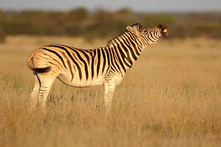 A plains zebra (Equus burchelli) standing in grassland, South Africa