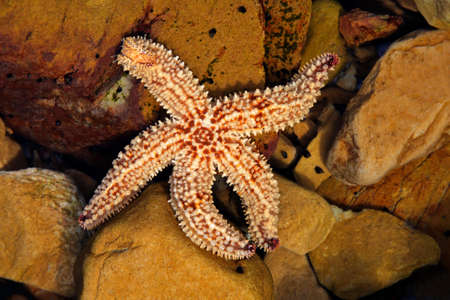 Colorful yellow and orange starfish in a coastal rock pool, South Africa Stock Photo