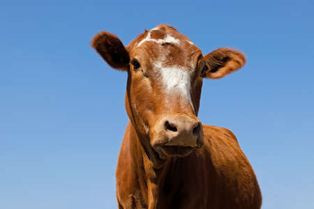 Low-angle portrait of a  free-range cow on a rural farm, South Africa Stock Photo