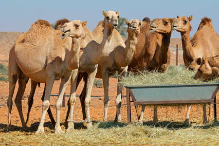 Group of camels at a feeding trough in a rural area of the United Arab Emirates Stock Photo - 153912064