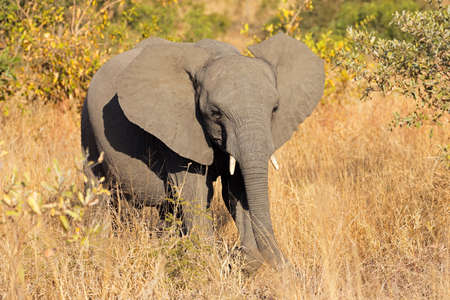 A young African elephant (Loxodonta africana) in natural habitat, Kruger National Park, South Africa Stock Photo - 154291962