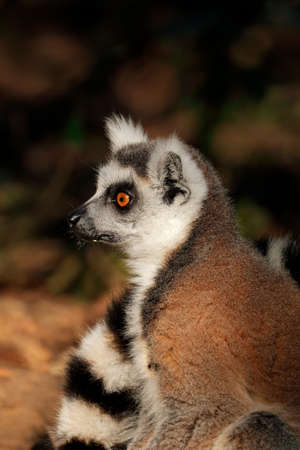 Portrait of a ring-tailed lemur (Lemur catta) in natural habitat, Madagascar