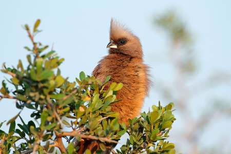 A speckled mousebird (Colius striatus) perched on a tree, South Africa