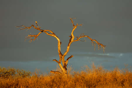 Dead tree at sunset against dark clouds, Kalahari desert, South Africa Stock Photo