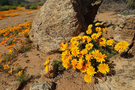 Colorful Namaqualand daisies (Dimorphotheca sinuata) in rocky landscape, South Africa Stock Photo