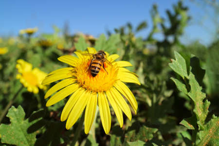 A honey bee collecting nectar on a brightly colored yellow flower Stock Photo - 154907087