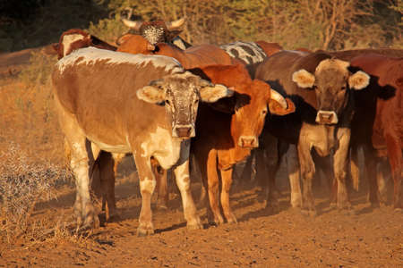 Small herd of free-range cattle on a rural farm of Northern Namibia
