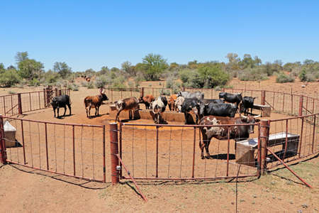 Free-range nguni cattle gathering at a watering point on a rural farm, South Africa Stock Photo