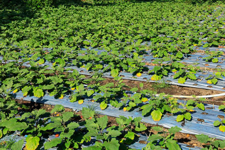 Field of irrigated aubergines on a rural farm, Bali, Indonesia Stock Photo - 154906825