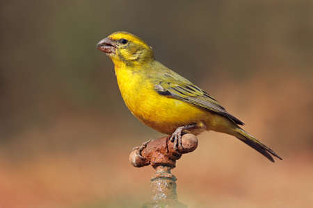 A male yellow canary (Crithagra flaviventris) perched on a tap, South Africa