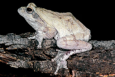 A foam nest frog (Chiromantis xerampelina) camouflaged on the bark of a tree, South Africa 写真素材