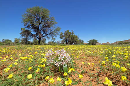 Scenic landscape with yellow flowers of Tribulus zeyheri, southern Namibia Фото со стока