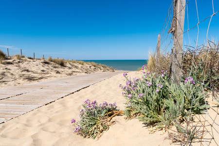 Wallflower of the dunes, beach of Lacanau, France