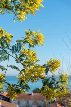 Arcachon Bay, France. Mimosas in bloom