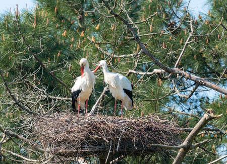 Baia di Arcachon (Francia), coppia di cicogne nella riserva ornitologica Le Teich vicino ad Arcachon Archivio Fotografico
