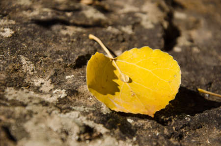 aspen leaf: Single yellow aspen leaf on rock with drop of water on center of leaf