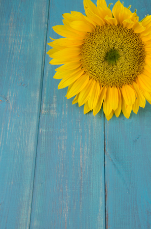Large yellow sunflower on turquoise distressed wood backdrop