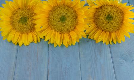 Three bright yellow sunflowers on vintage wooden blue background Archivio Fotografico