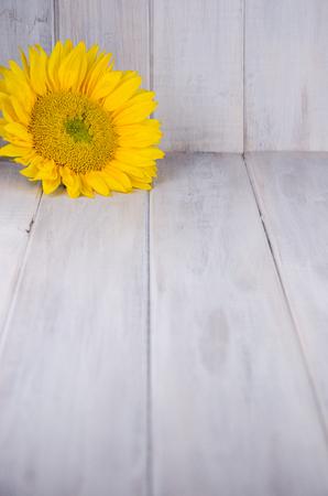 Yellow sunflower on weathered white wood backdrop