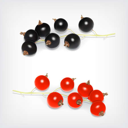 currant: Branch of black and red currant. Vector icon. EPS10
