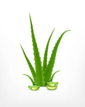 aloe: Aloe vera Illustration